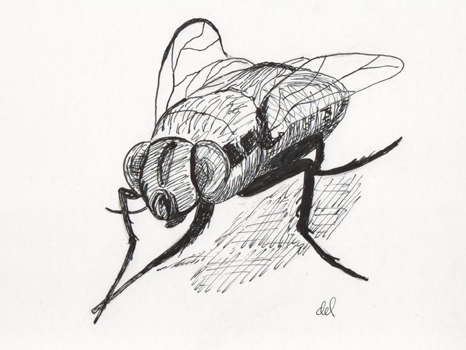 Small House Fly - pen and ink